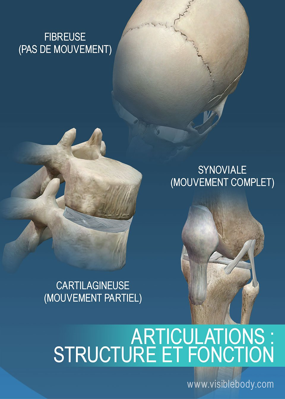 Synthèse des différentes articulations, suture, genou, vertèbre