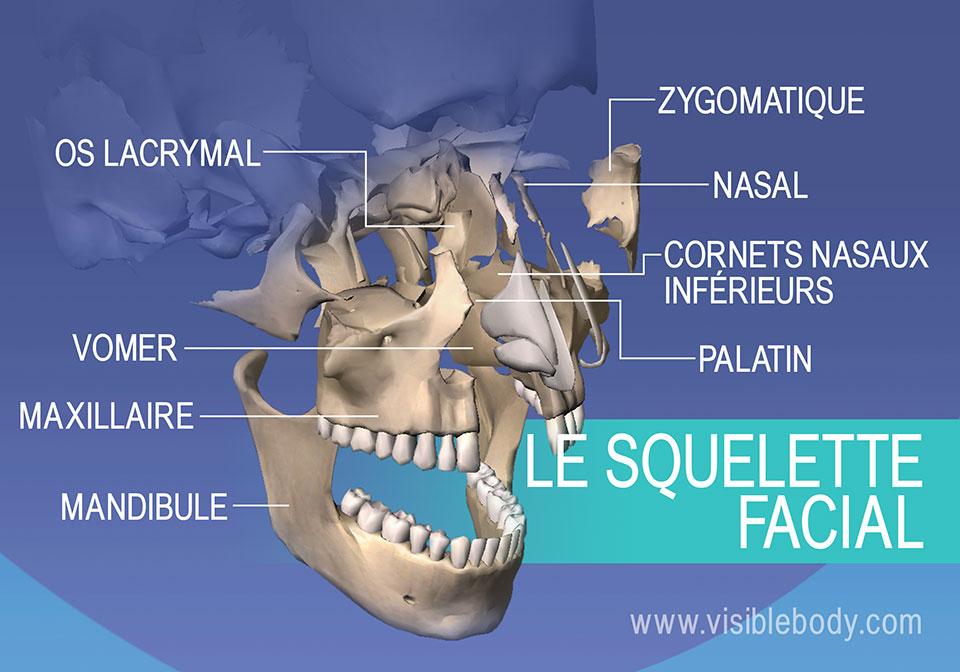 Os du visage : Lacrymal, zygomatique, maxillaire et mandibule