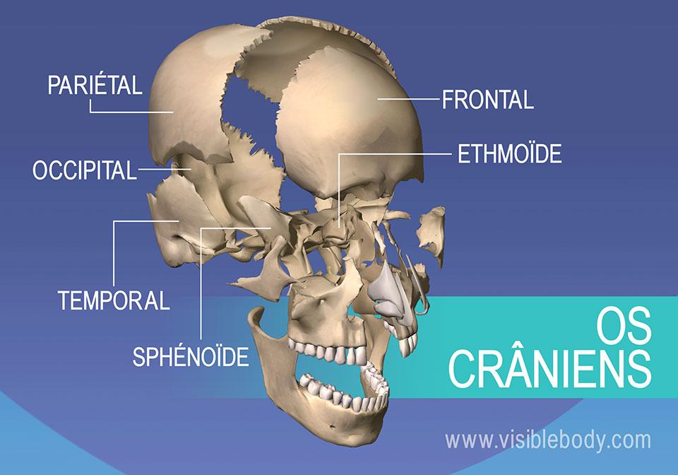 Os du crâne