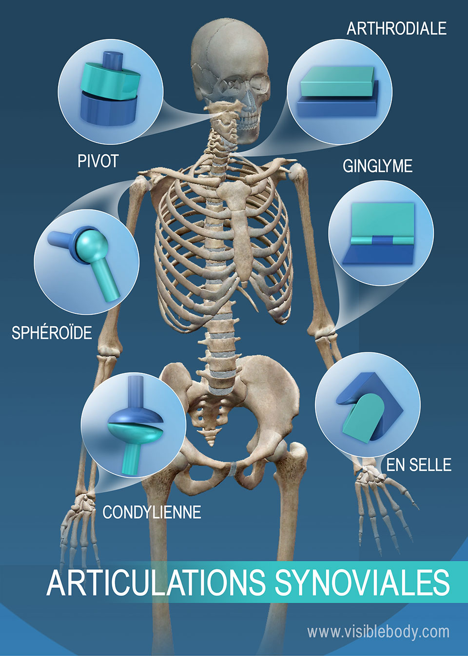Amplitude de mouvement des articulations synoviales : articulation de type pivot, articulation sphéroïde, articulation condylienne, articulation en selle, articulation de type ginglyme et articulation arthrodiale