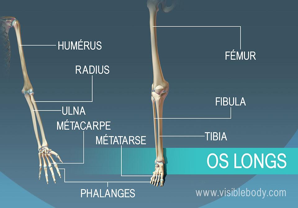 Exemples de neuf os longs se trouvant dans le corps