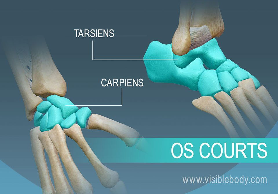 Exemples d'os courts