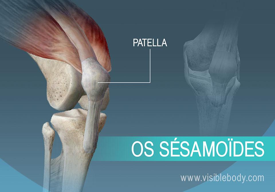 La patella, un os sésamoïde du corps
