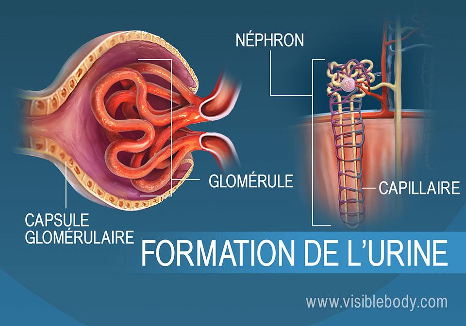 Coupe transversale d'un glomérule, une structure du néphron