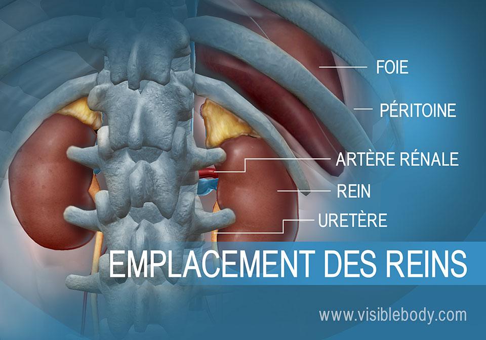 Reins et uretères par rapport au foie dans l'abdomen