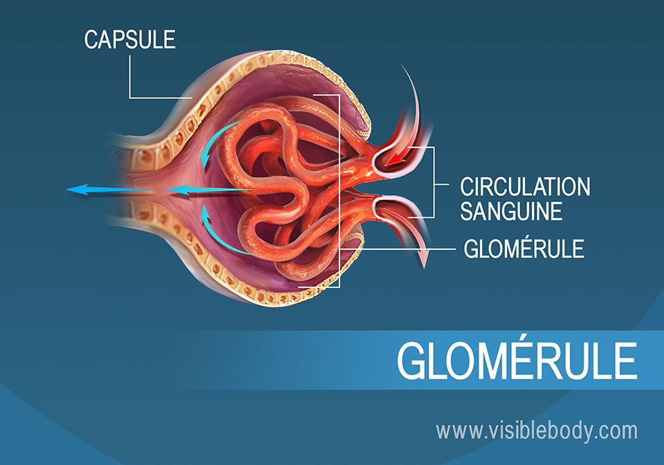 Circulation sanguine dans le glomérule dans le cadre de la filtration