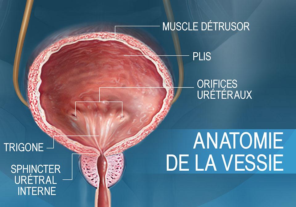 Coupe transversale frontale illustrant l'anatomie de la vessie