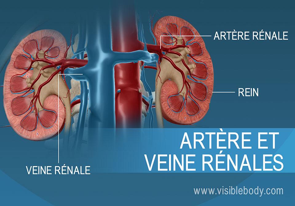 Le sang circule dans les reins et en dehors de ces derniers grâce aux artères et veines rénales