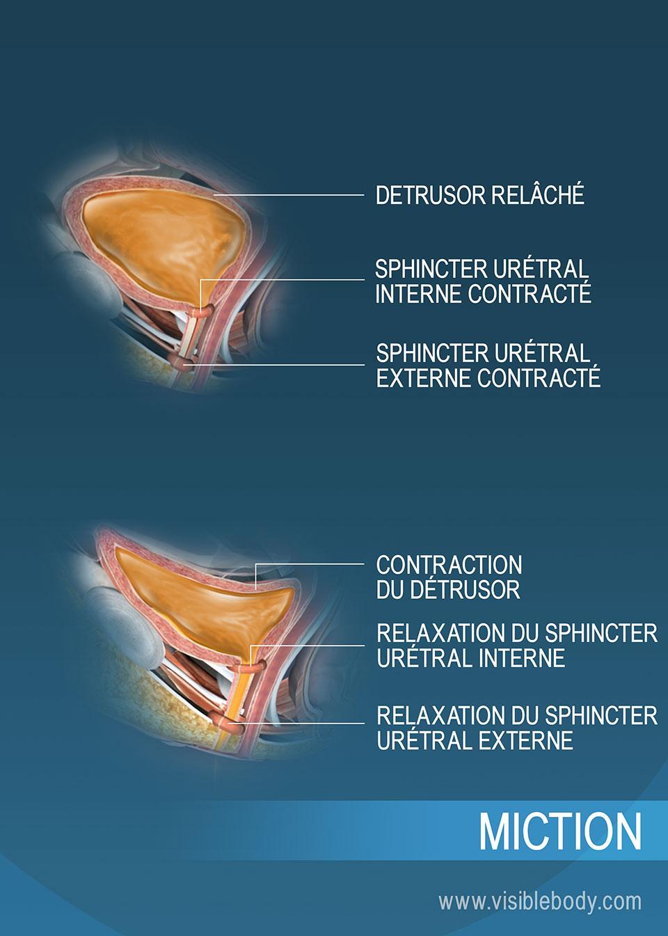 Vessie stockant l'urine, et vessie au cours de la miction, avec les sphincters urétraux et le détrusor facilitant le processus