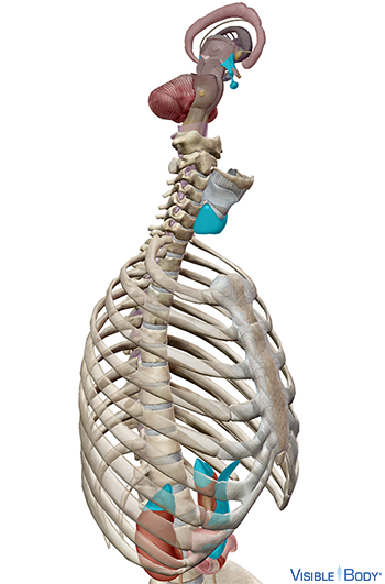 View of the primary endocrine organs in the context of the rib cage and spine