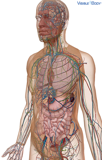 Transparent view of the body revealing circulatory system and organs