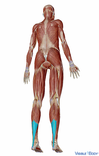 Glossary Of The Muscular System | Learn Muscular Anatomy