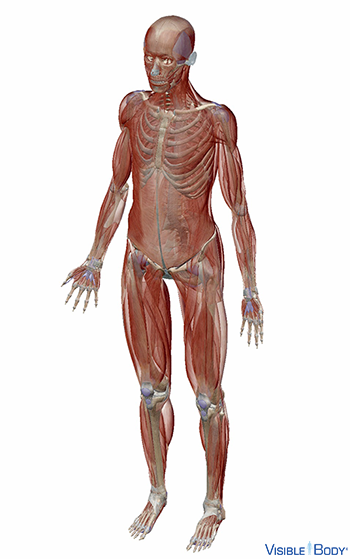 Angled view of the human muscular system