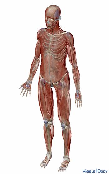 Vue inclinée du système musculaire humain