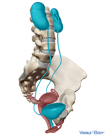 Female urinary anatomy