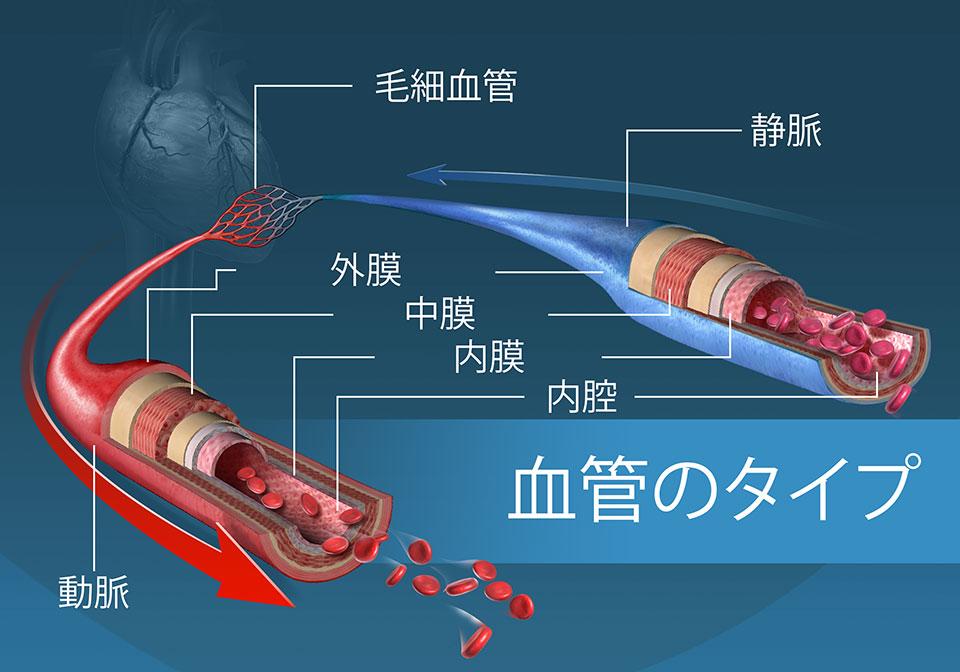 異なった種類の血管とそれらの層