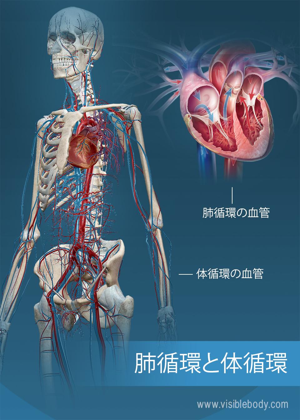 肺循環と体循環の血管
