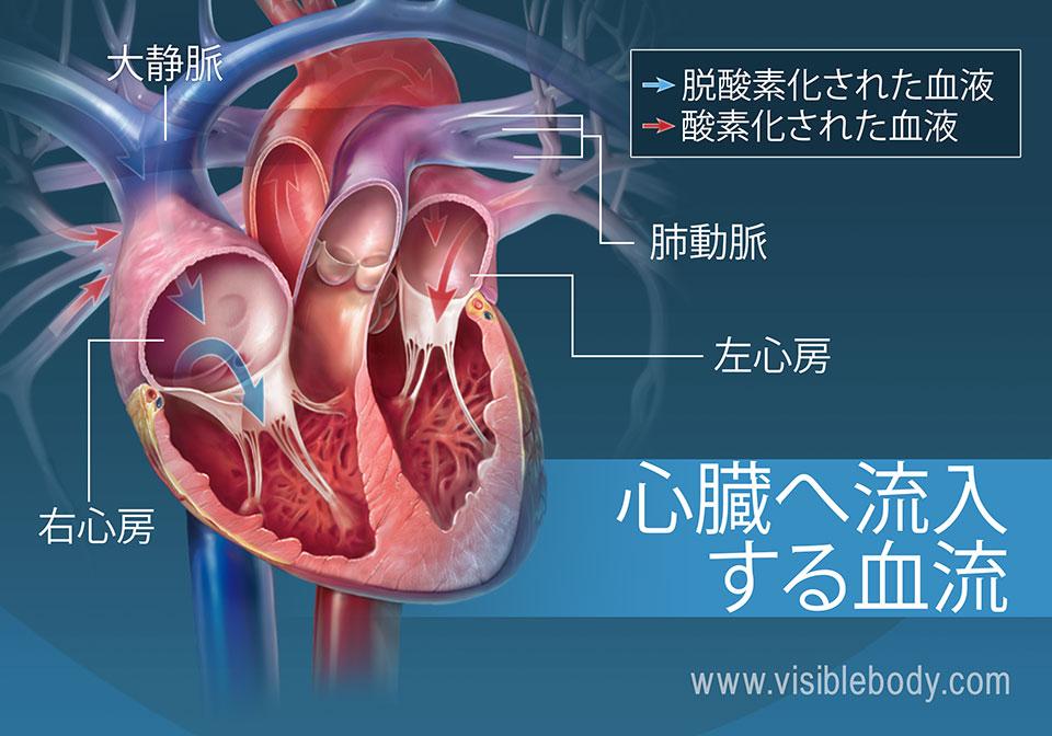 心房は血液を心臓に流入させます