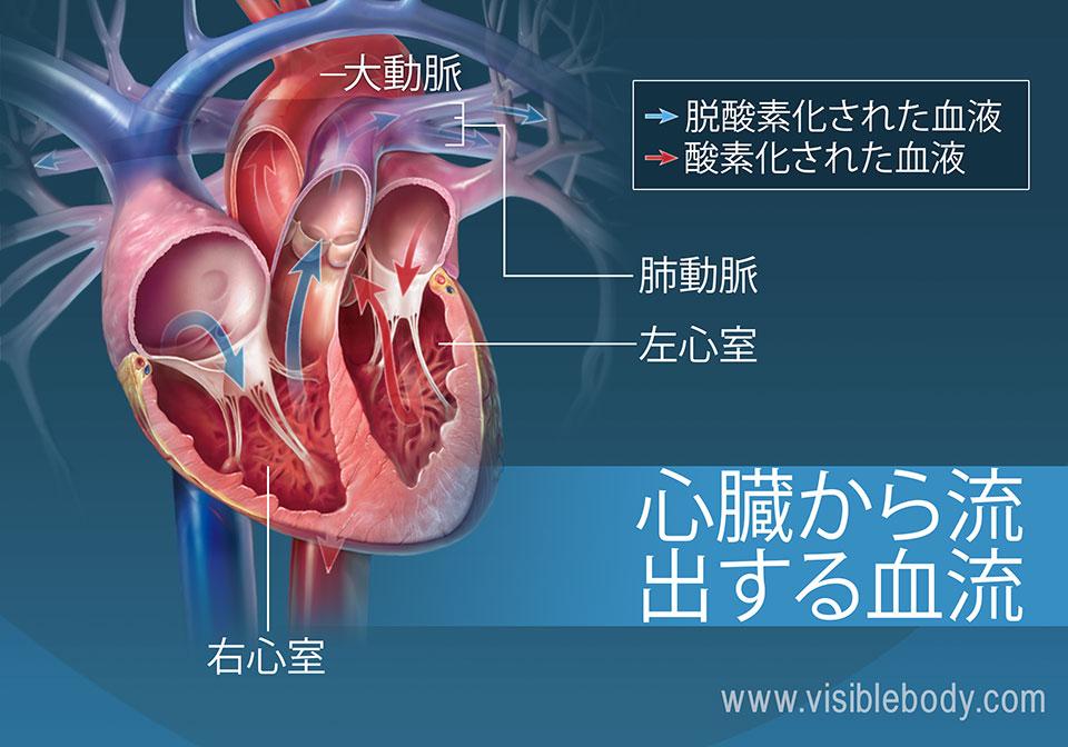 左右の心室は、心臓から血液を拍出します