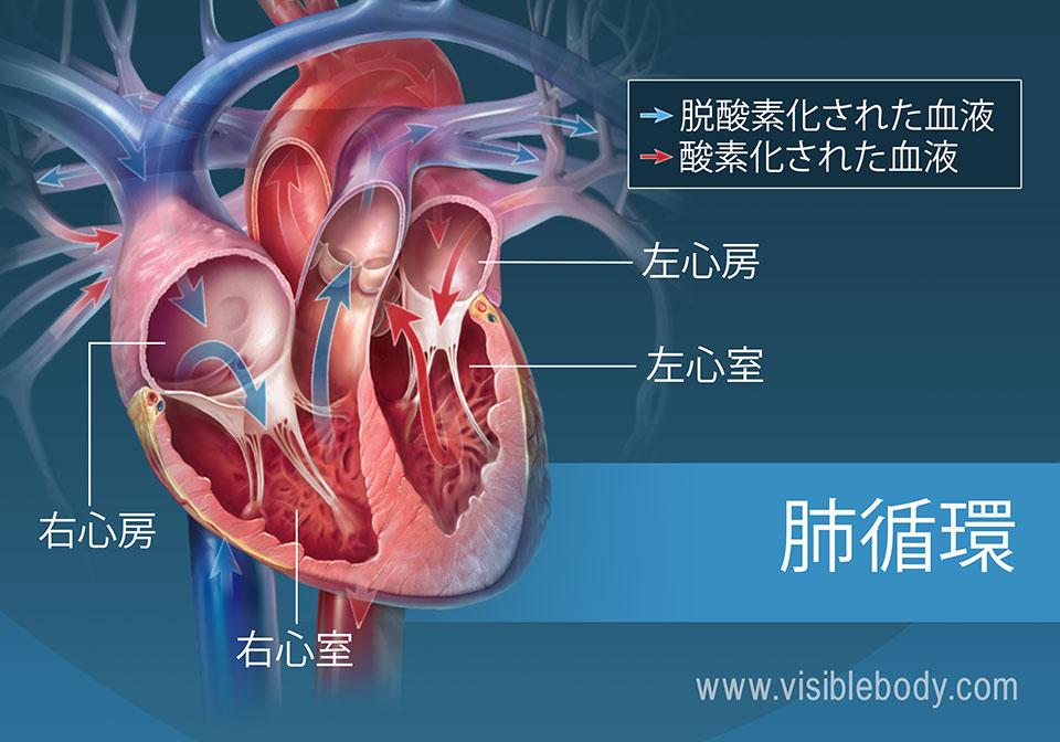 心房を通る酸素化および脱酸素化された血液の循環