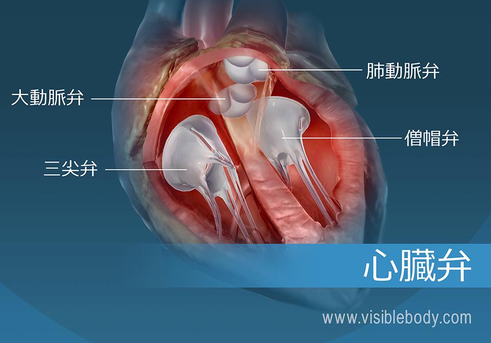 ヒトの心臓の4つの弁