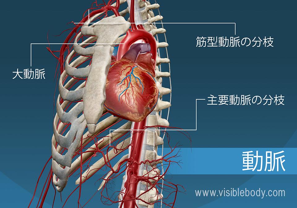 主要動脈と分枝