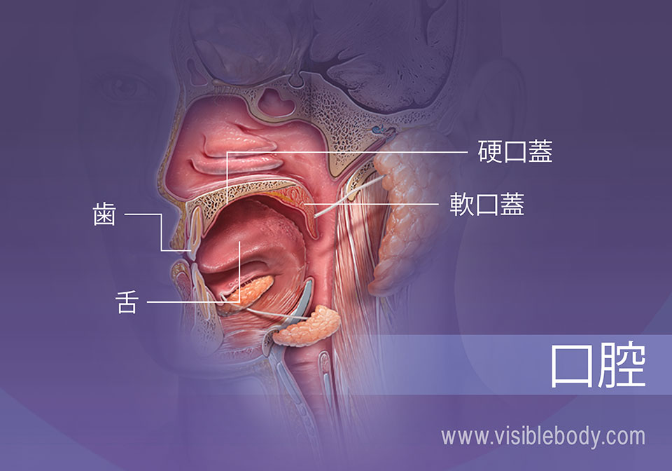 歯、舌、硬口蓋および軟口蓋を示す口腔の投影図