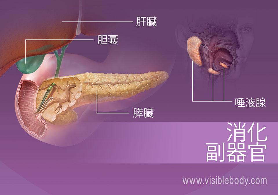 消化の副器官には、肝臓、胆嚢、膵臓および唾液腺が含まれます。