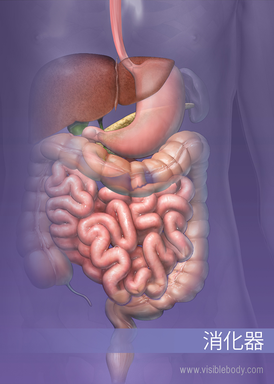 下部消化器系の構造
