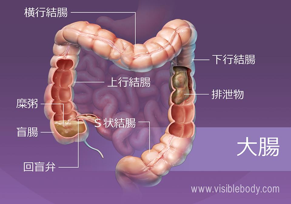大腸を通過する食物と水