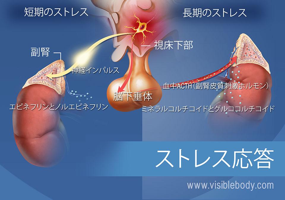 視床下部、下垂体と副腎を含む短期および長期のストレス応答に関連するホルモンの図