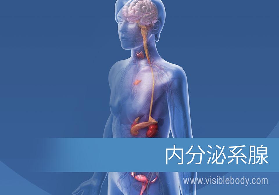 内分泌腺とその作用