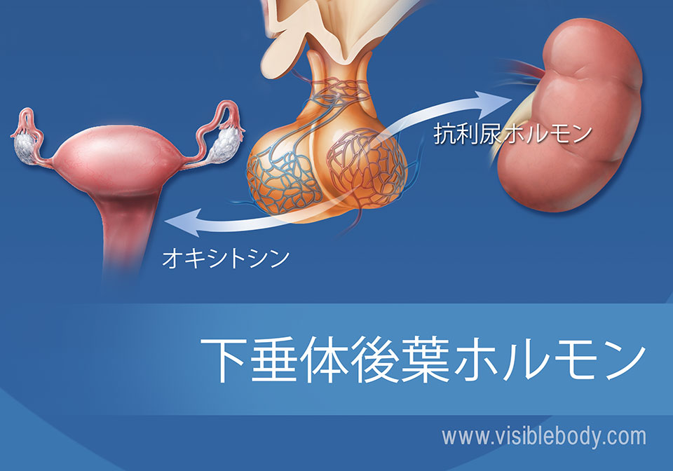 下垂体と下垂体後葉ホルモンの図