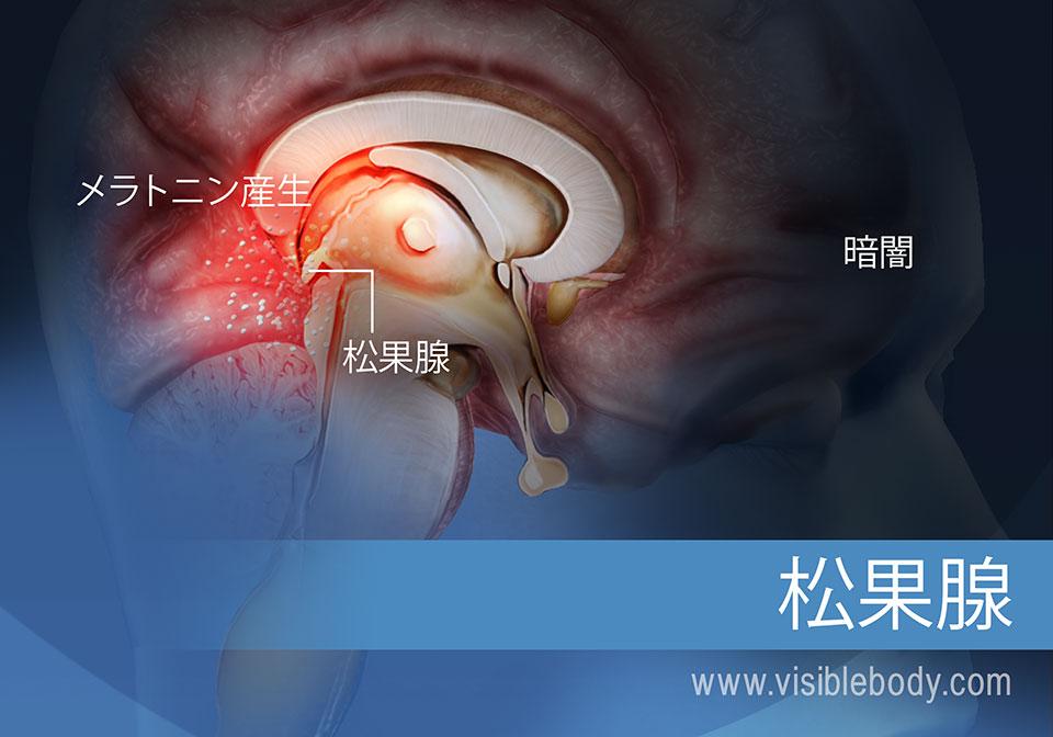 メラトニン生成の仕組みを示す松果腺の図
