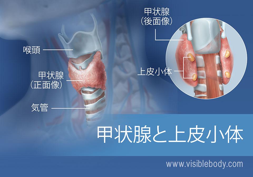 喉頭と気管も含めた甲状腺と上皮小体の正面像と後面像