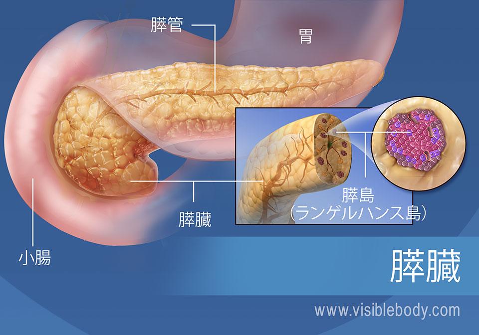 膵管、膵島、胃および小腸も示している膵臓の図