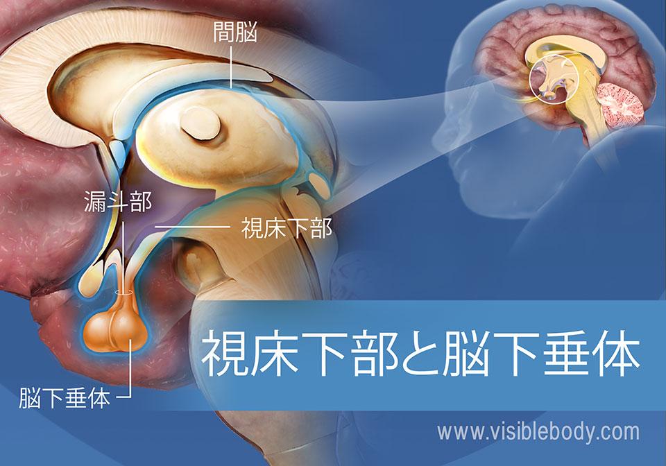 漏斗部と間脳を含む視床下部と下垂体の図