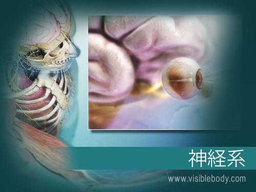 脳と脊髄は、中枢神経系(CNS)を形成します。 脳神経、脊髄神経および感覚器官は、末梢神経系(PNS)を形成します。