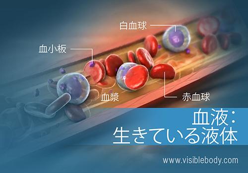 人体の血液の構成と機能