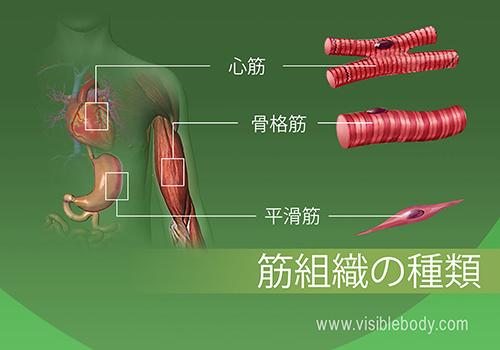 人体の心筋、骨格筋および平滑筋