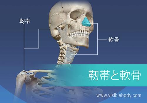骨格系は206本の骨、軟骨、および靭帯