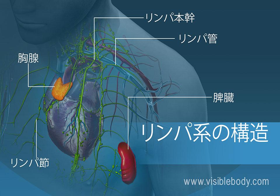 リンパ系の構造物には、胸腺、リンパ節、血管および脾臓が挙げられます。