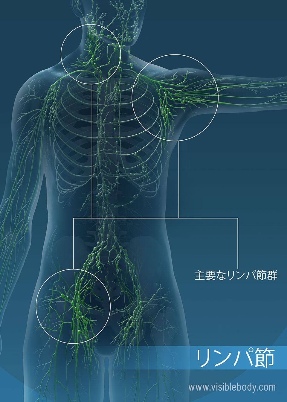 リンパ節は、不必要な物質をリンパからろ過するのを助けます。