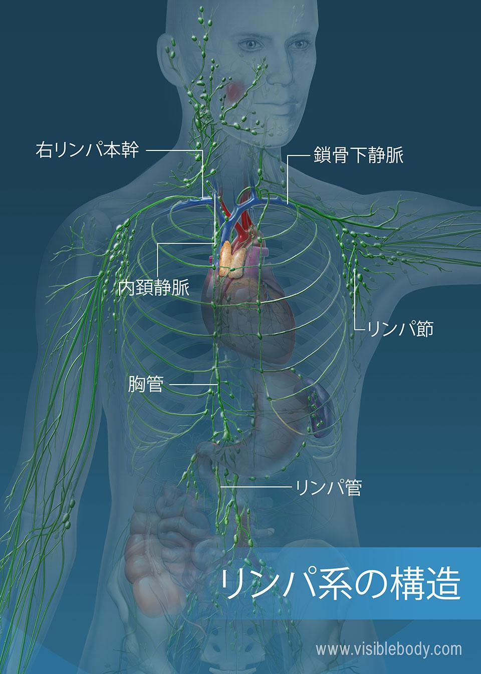 リンパ管ネットワークは、胴体と腕全体にわたっています。 主要構造物には、胸管、右リンパ本幹、およびリンパ管が含まれます。