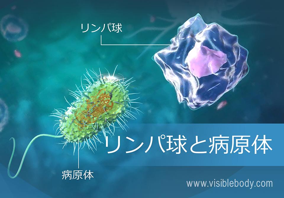 1B-リンパ球-と-病原体