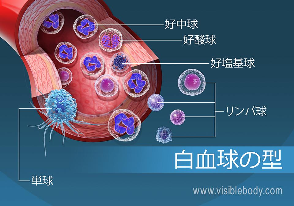 血流中の異なった種類の白血球