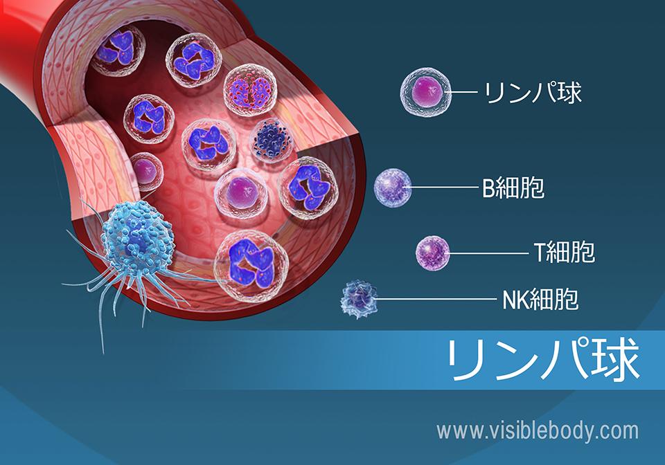 さまざまな種類のリンパ球に関する詳細