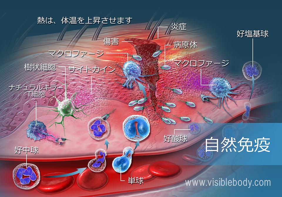 外傷に応答する受動免疫系