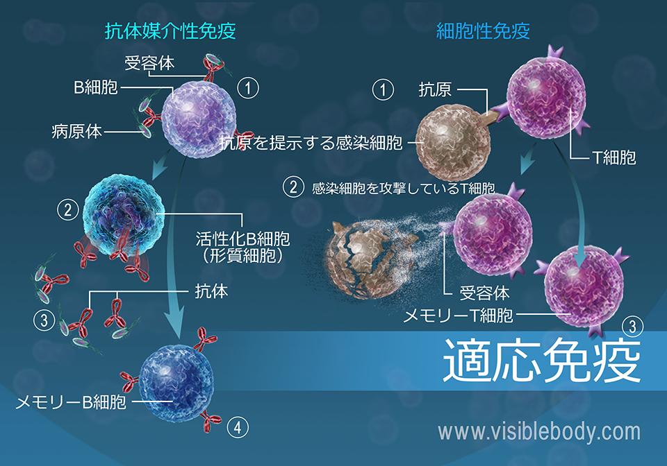 抗体と細胞を介する免疫は、身体が病原体と戦うために使用する獲得手段です