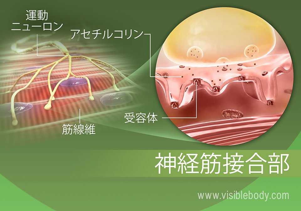筋肉の神経支配プロセス